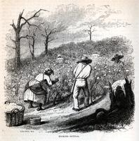 Picking cotton [graphic] / J.W. Orr N.Y.
