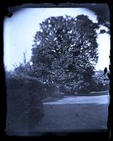 [Horse chestnut tree from backyard of the Deshler-Morris House, 5442 Germantown Avenue] [graphic].