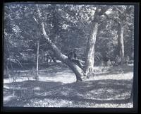Large tree on banks of [Mana]squan R[iver], Mr. Samuel on limb of tree. [Allaire, NJ] [graphic].