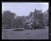 Bed and Kilmarnock Willow in our garden, [Deshler-Morris House, 5442 Germantown Avenue] [graphic].