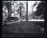 Tulip bed near back porch, [Deshler-Morris House, 5442 Germantown Avenue] [graphic].