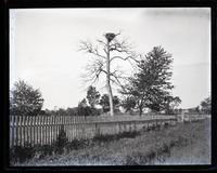 Fish hawk's nest & tree near Sea Girt Station, [NJ] [graphic].