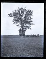 Large buttonwood tree in field at W. end of the Cedar Lane, [Sea Girt, NJ] [graphic].