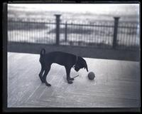Bonnie [dog] with ball, [Avocado, Sea Girt, NJ] [graphic].