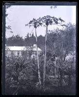 Paupau & banana trees, Paget on road to Arrowroot factory, [Bermuda] [graphic].