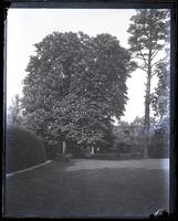 Horse chestnut tree in our garden from centre of yard, [Deshler-Morris House, 5442 Germantown Avenue] [graphic].