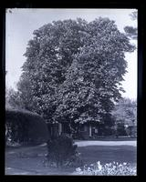 Horse chestnut tree from centre of garden. Tree in flower. [Deshler-Morris House, 5442 Germantown Avenue] [graphic].