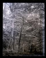 Dogwood tree in Wister's woods, [Germantown] [graphic].