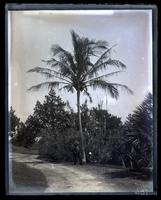 Cocoanut Palm at Norwood, [Bermuda] [graphic].