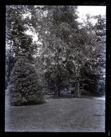 Wistaria over pear tree in full bloom. Bess under tree. [Deshler-Morris House, 5442 Germantown Avenue] [graphic].
