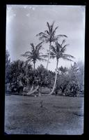Date palms at Woodlands, [Bermuda] [graphic].