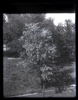 Locust tree in bloom in back of our house, [Deshler-Morris House, 5442 Germantown Avenue] [graphic].
