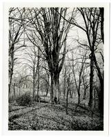 Florida Cypress tree in Bartram's Garden