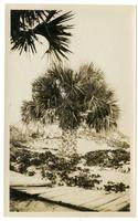 Palm tree and board walk