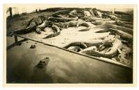 Swarming alligators