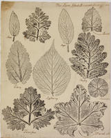 [Nature prints of leaves]
