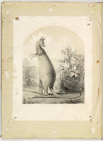 [Proof of sheet music cover depicting a kangaroo]