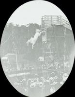 [Carlin's Park, white horse diving from a high platform, Baltimore, Md.]